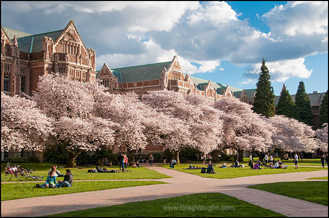 UW Quad with blooming cherry trees
