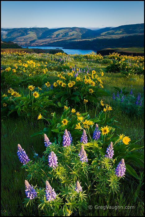 Lupine and Balsamroot, Tom McCall Preserve